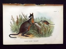 Lloyd 1890's Antique Print. Black-Tailed Wallaby, Australia Native